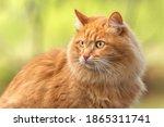 Portrait Red Fur Cat In Green...