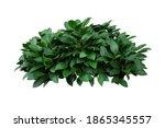 Green Leaves Hosta Plant Bush ...