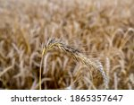 Rye With Ergot  Fungus  In Field