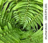 Macro Photo Green Fern Plant....