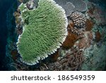 Small photo of Green hard coral (Acropora hyacinthus), Green Island, Taiwan.