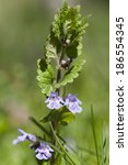Small photo of Alehoof, also known as Creeping Charlie or Catsfoot (Glechoma hederacea)