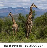 Male Adult Giraffe With Young...