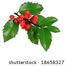 ilex aquifolium   holly branch... | Shutterstock . vector #18658327