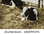 Small photo of Portrait of calf lies in straw on farm calf calf calf calf calf calf calf calf calf calf calf calf calf calf calf calf cow cow cow cow cow beef newborn newborn newborn newborn newborn newborn newborn