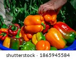 Picking Peppers By Hand In The...