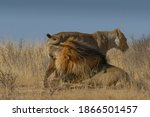 Lion Pair Mating Against Blue...