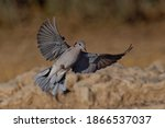 Cape Turtle Dove On The Wing...