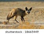 bat eared fox  otocyon... | Shutterstock . vector #18665449