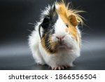 Guinea Pig Rosette On A Dark...