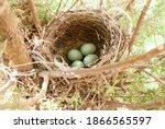 A Blackbird Has Built A Nest In ...