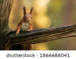 Red Squirrel Climbing Up In A...