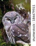 Small photo of Tengmalm`s Owl, [Aegolius funereus]