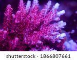 Beautiful Acropora Sps Coral In ...