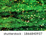 Green cypress juniper close-up, coniferous evergreen, natural organic background, thuja, perfect natural texture of rich green color. Postcard layout. Place for text. Christmas card, holiday lights. - stock photo