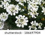 evergreen candytuft or... | Shutterstock . vector #186697904