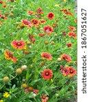 Red Blanket Flower Field ...