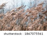 Pampas Grass On The Lake  Reed...
