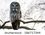 Great Grey Owl Perched In Tree...