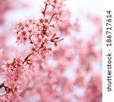 cherry blossom. sakura in... | Shutterstock . vector #186717614