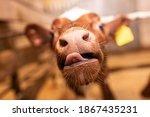 Muzzle of a small bull calf...