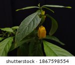 The Lollipop Or Wax Plant Is A...