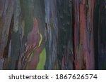 Eucalyptus Deglupta Bark. The...
