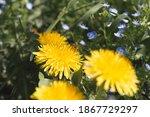 Beautifull Yellow Dandelion...