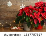 Poinsettia  Traditional...