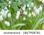 Muscari White Magic  Clump Of...