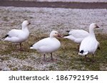 Lesser white-morph snow goose standing in profile with other birds in soft focus background in park covered in a dusting of fresh snow, Quebec City, Quebec, Canada