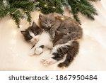 Two Fluffy Gray Kittens Lie...