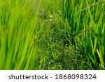 Verdant Rice Fields In The...
