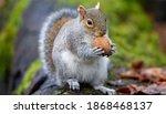 Grey Squirrel Full Length...