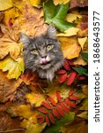 Small photo of cute gray maine coon cat sticking head through a hole of colorful autum leaves foliage with copy space looking at camera licking lips