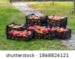 Organic Ripe Red Apples In...