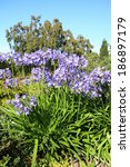 Small photo of African lilly - Agapanthus umbellatus in the garden