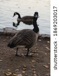 A Family Of Geese In Front Of A ...