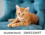 Beautiful Young Red Tabby Cat...