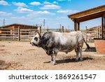 Brahman Bull In A Paddock.