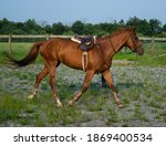 Arabian Horse With Saddle On A...