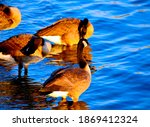 Canada Geese Warming Up In The...