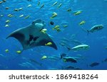 Manta Ray And Other Fish In...