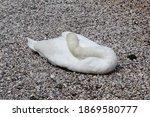 White Swan Sleeping On The...