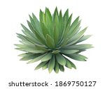 Agave Plant Isolated On White...