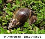 Pond Snails   Lymnaeidae ...