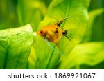 Yellow Angelfish Isolated In A...