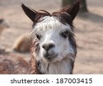 Cute Lama Animal Closeup...