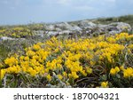 Small photo of Steppe landscape close-up: yellow florets of an accumbent semishrub against the steppe and blue sky. Gorse pontic (Genista millii) is an appressed semishrub, which prefers limed rocky soils