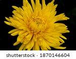 Flower Of Hardy Chrysanthemums. ...